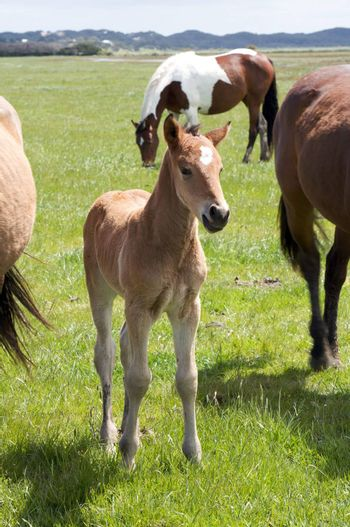 Brown horse and its foal, filly in a meadow