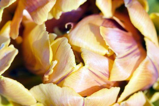 close-up shot of the stamen of a orange tulip