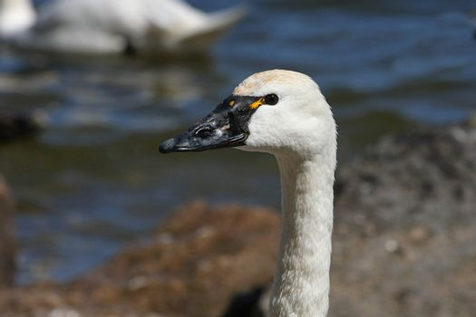 Tundra Swan Cygnus columbianus