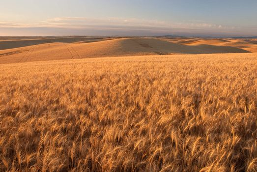 Wheat fields, hills and distant mountains, Whitman County, Washington, USA