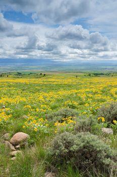 Arrowleaf Balsamroot (Balsamorhiza sagittata), sagebrush, distant farmland and clouds, Gallatin County, Montana, USA