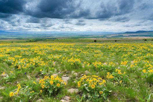 Arrowleaf Balsamroot (Balsamorhiza sagittata), distant farmland and clouds, Gallatin County, Montana, USA