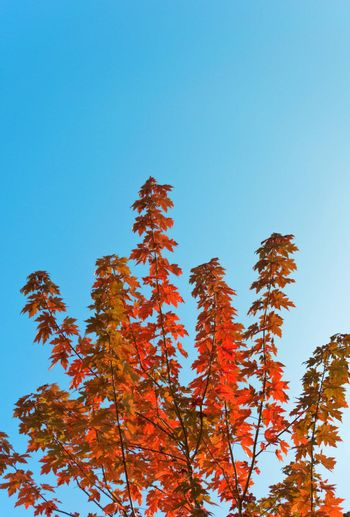 Maple tree  with red leaves against blue sky. Copy space