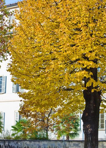 Fall tree with yellow leaves in city street