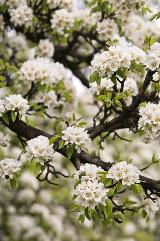 pear bloom