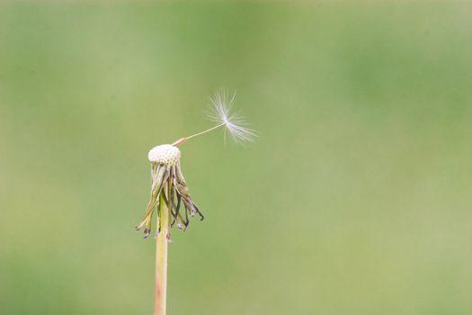 Almost flown dandelion