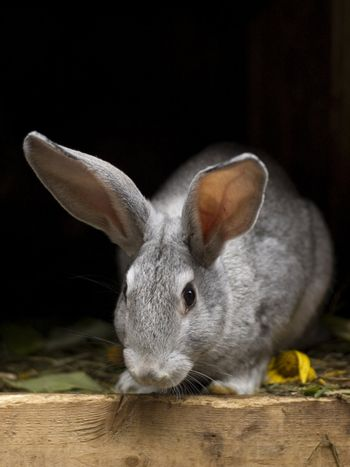 Grayish rabbit standing in a rabbit-hutch. Two prominent ears protruding upwards. Wooden floor strewn with leaves and some grass bits.