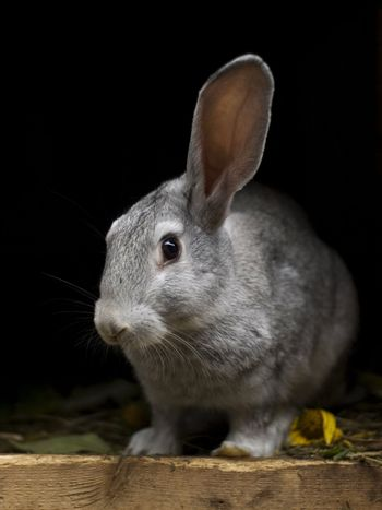 A grayish rabbit with its left ear up and black eye. Background is a rabbit hutch. Floor is wooden with some leaves and grass.