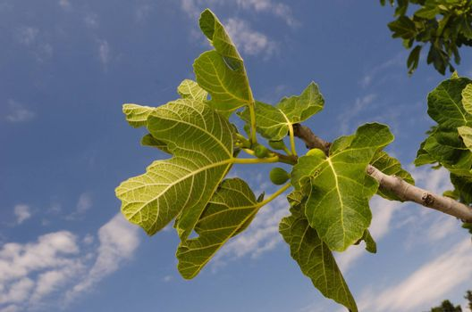 fig branch with green leaves and unseasoned fruits over a nice sky