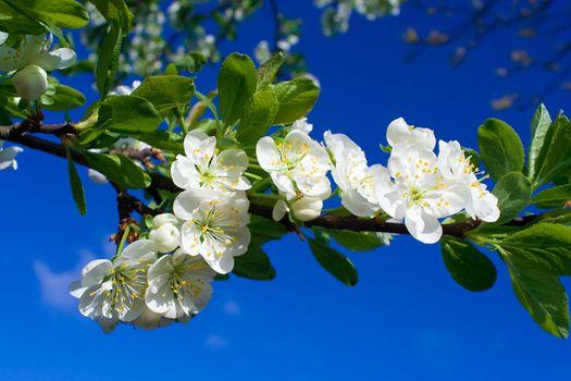 close-up flourish cherry on blue sky