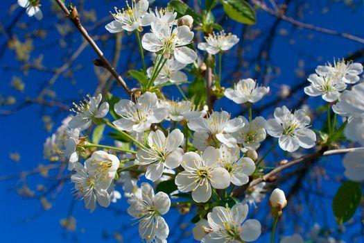 close-up flourish cherry