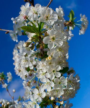 flourish cherry in april
