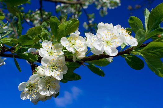 flourish cherry on blue sky