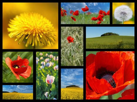 A collage of photos from the summer flowers. Poppy, dandelion, rape
