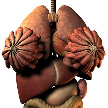 internal organs of the woman