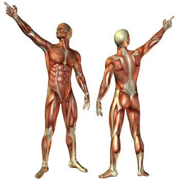 Muscle man from the front and rear structure