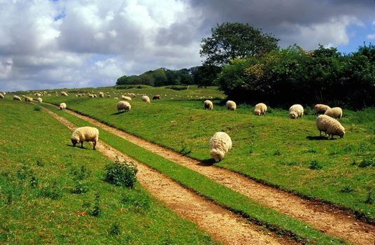 Sheep grazing near Badbury Rings, Dorset, UK