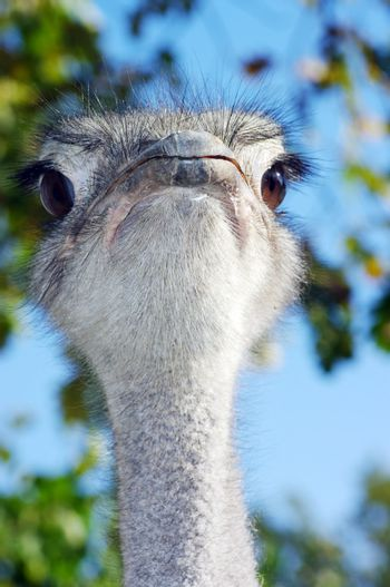 Portrait of an ostrich with a humorous expression