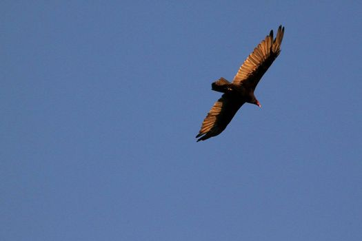 Falcon flying high above at sunset on cloud less background