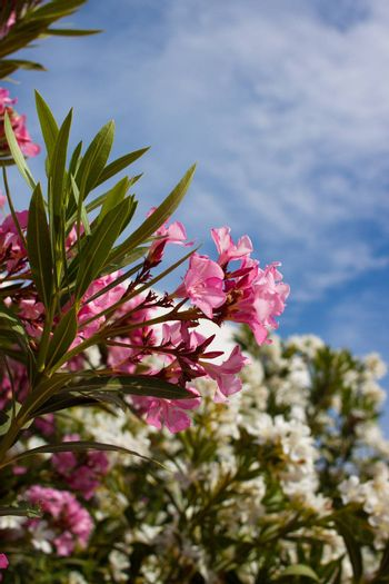 shrub with beautiful pink and white flowers