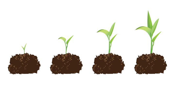 seedling or germination