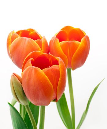 beautiful bouquet red tulip on white background