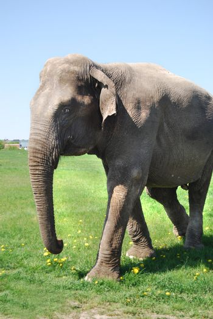 Elefant walking