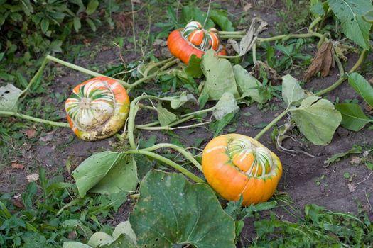 autumn orange land field pumpkin halloween green