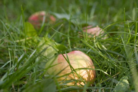 meadow ripe vibrant green red grass apple