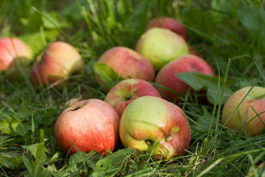 meadow ripe apple fruit nature grass autumn