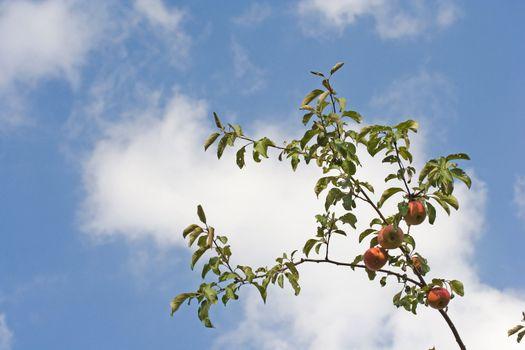 apple fruit branch green autumn sky