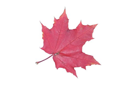 isolated tree white autumn red maple leaf