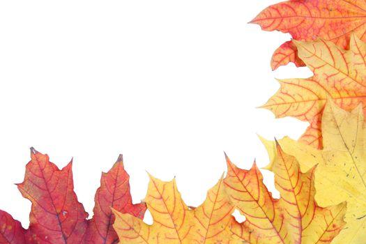isolated tree white autumn colored maple leaf