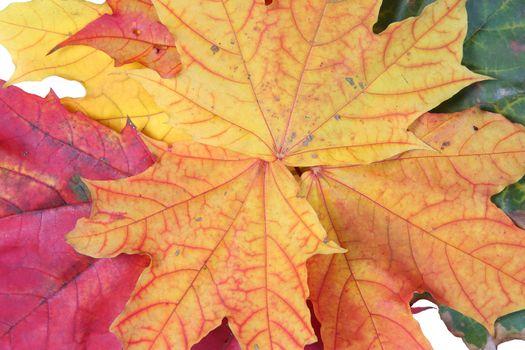 autumn yellow orange maple textured leaf colored
