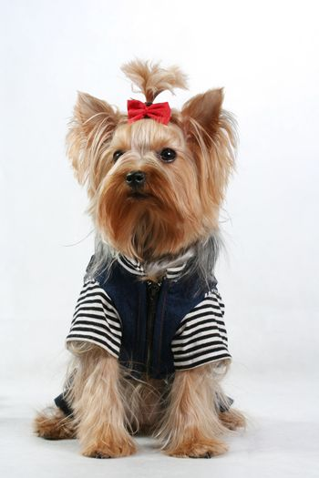 yorkshire terrier fine dog small youth design clothes