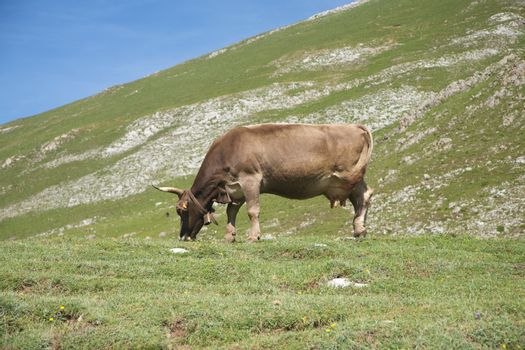 livestock grazing in Cantabrian valley