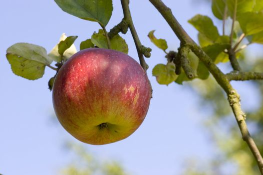 Red apple on a tree against blue sky