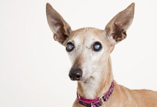old dog with eye cataract