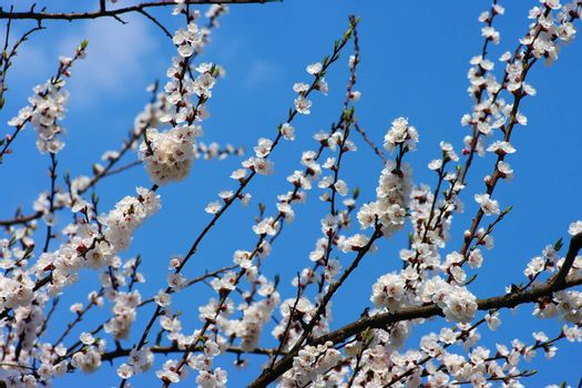 Spring blooming flowers branch over blue sky background