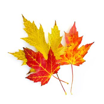 Fall maple leaves on white