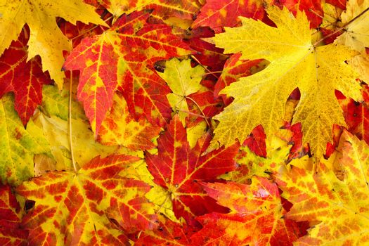 Autumn maple leaves as bright colorful background