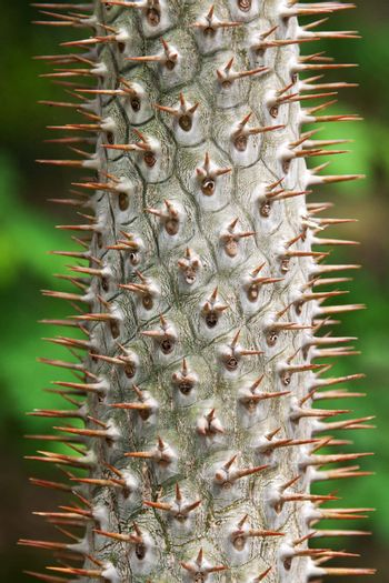 Stem tropical tree with needle