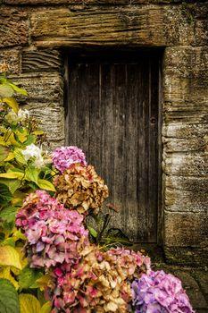 Antique wooden door and hortensia