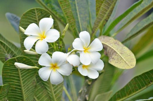 Plumeria (common name Frangipani) is a genus of flowering plants of the family which includes Dogbane: the Apocynaceae.
