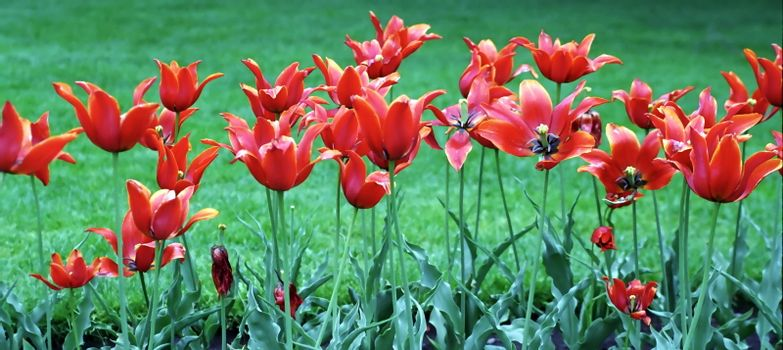 Spring flowers: Red Tulips