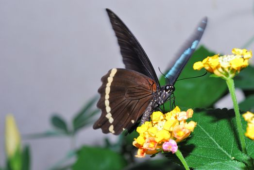 large brown butterfly on yellow flowers
