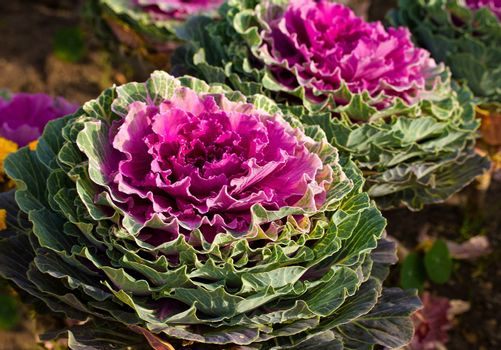 close-up decorative cabbage as flower