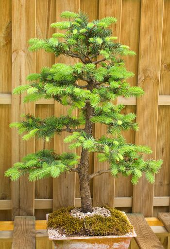 potted dwarf fir tree