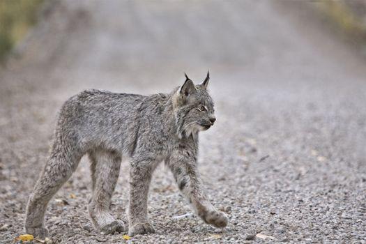 Rocky Mountain Lynx