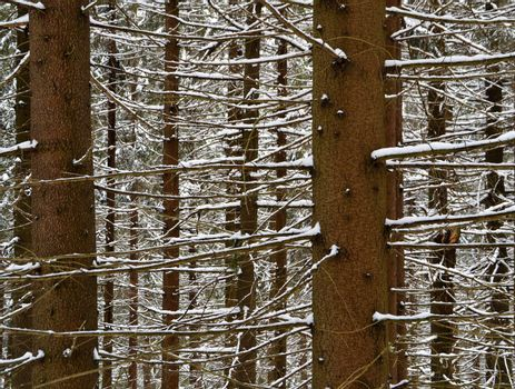 Snowy spruce the branches